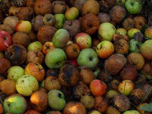rotten_apples.jpg