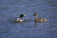 duck-secrets